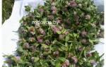Трава манжетка применение при климаксе