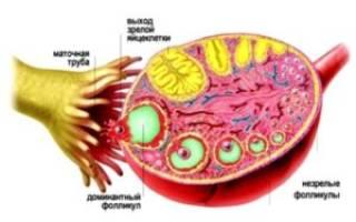 При менопаузе работает один яичник
